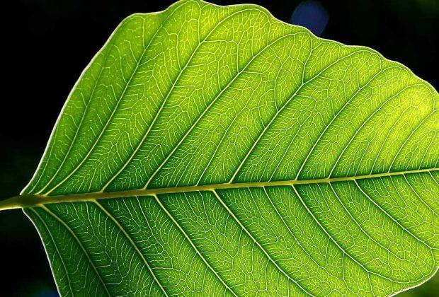 sztuczna fotosynteza fot. Jon Sullivan wikimedia commons