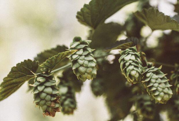 mnisi oszczędzą wodę dzięki filtracji roślinnej piwo trapiści