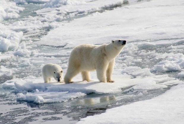 Głodne niedźwiedzie polarne nawiedziły rosyjskie miasta. Rząd decyduje Uśpić i wywieźć