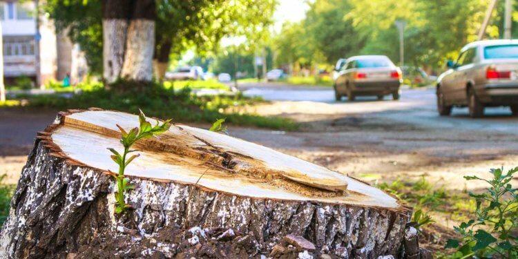 Ekspert w miastach potrzebne są duże drzewa, a nie ich sadzonki
