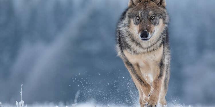 wilki wracaja do holandii po 140 latach wilki holandia polowania odstrzal