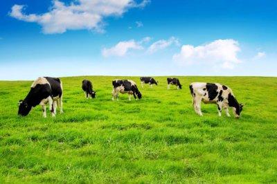 Wolne krowy z Deszczna pójdą na rzeź Główny Lekarz Weterynarii nie odwołuje decyzji o wybiciu zwierząt