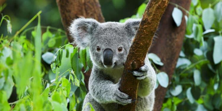 koala wyginięcie australia