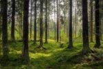Ekolodzy działania LP zaszkodzą Puszczy Białowieskiej Lasy - są zgodne z rekomendacjami UNESCO