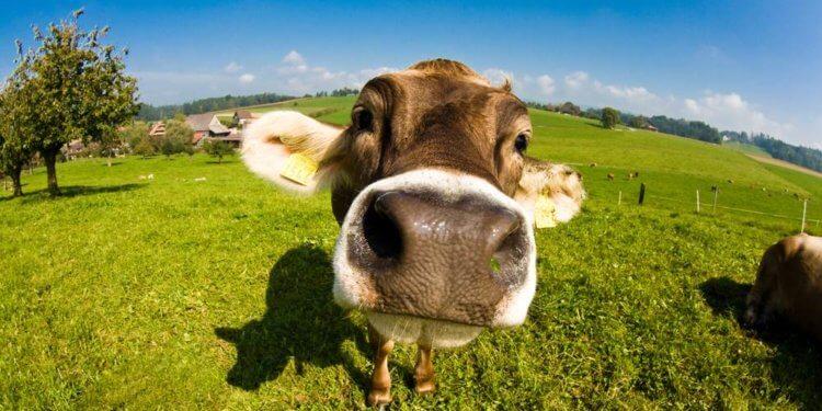 Krowy z Deszczna uratowane. Powiatowy Lekarz Weterynarii uchylił decyzję o wybiciu zwierząt