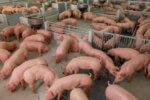 Największa epidemia chorób zwierzęcych w dziejach. Świńska Ebola szaleje w Azji, ale wpłynie na cały świat ASF