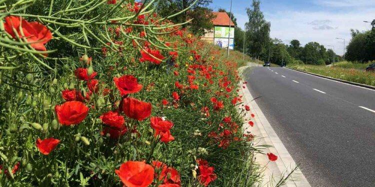 Łąki kwietne Wałbrzych dla pszczół dla owadów ekologiczny pas miejskie łąki