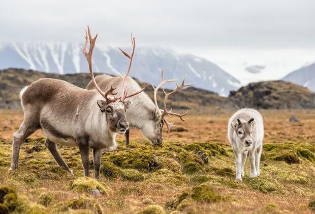 200 reniferów padło ofiarą zmian klimatu. Zwierzęta na Svalbardzie umarły z głodu