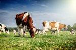 krowy i swinie dostaną więcej miejsca