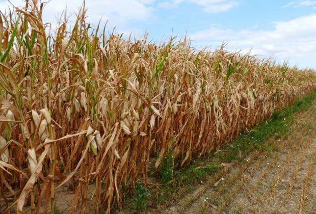 susza rolnicza suszy rolniczej W Polsce trwa susza rolnicza. Zagrożonych jest 1,5 mln hektarów upraw
