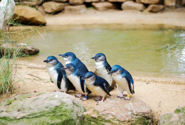 Pingwin Mały Australia