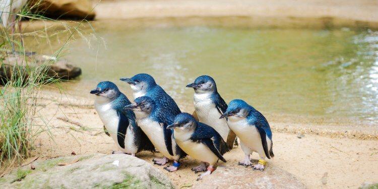 Pingwiny Małe Australia