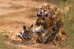 tygrysy populacja