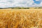 Odkryto gen, który może uodpornić zboża na suszę. Albo chociaż uratować whisky