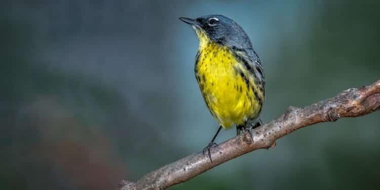 Pół wieku walki o zagrożonego ptaka przyniosło skutek. Lasówka szaro-żółta już nie potrzebuje ochrony