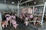 Zwierzęta hodowlane coraz trudniej wyleczyć. Antybiotykoodporność potroiła się od 2000 roku