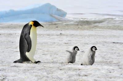 Pingwiny cesarskie w tarapatach. Przez zmiany klimatu mogą wyginąć do końca wieku