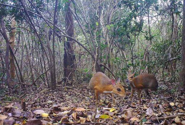 Uznany za wymarły gatunek ssak... po 30 latach odnalazł się w południowym Wietnamie