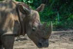 nosorożec sumatrzański