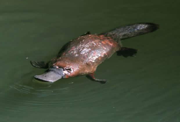 Dziobakom grozi wyginięcie. Australia, którą zamieszkują, nie jest bezpieczna