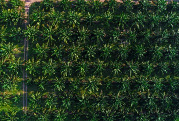 Czemu olej palmowy jest niezdrowy?