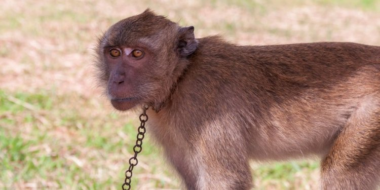 Małpy zbierały kokosy