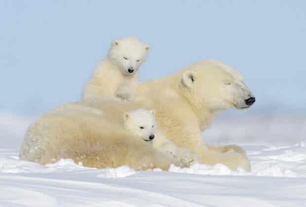rodzina misie polarne