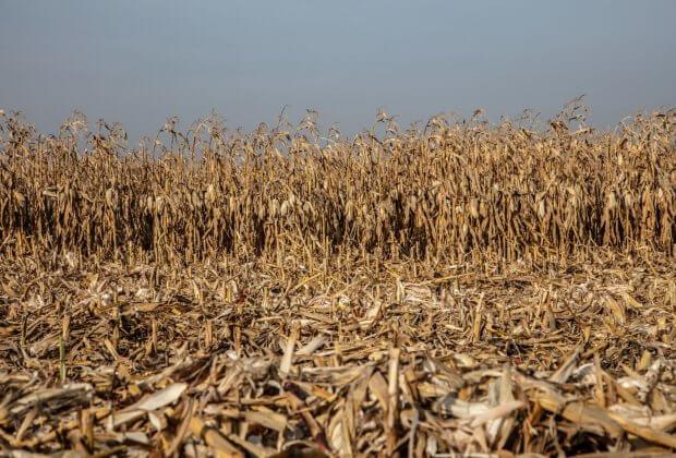 suche pole kukurydzy