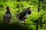 czarne bociany
