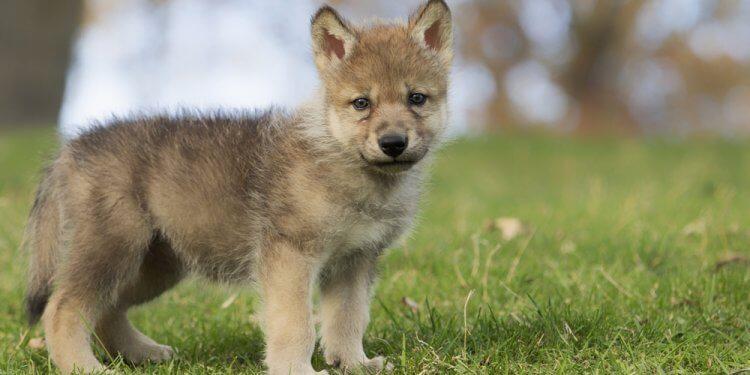wilk udomowiony