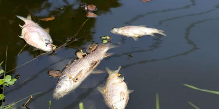 martwe ryby Aisne nestle