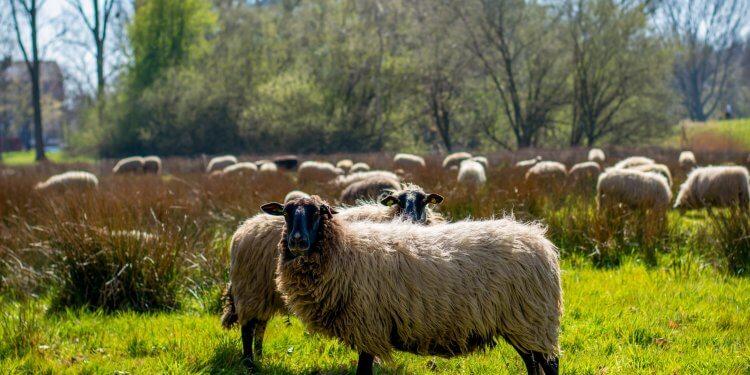Wypas owiec Kraków