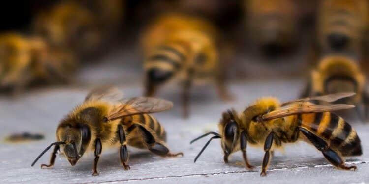 Pszczoły wielkopolska