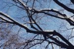 Kolce Gołębie Drzewa