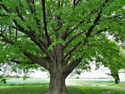 lipa europejskie drzewo roku