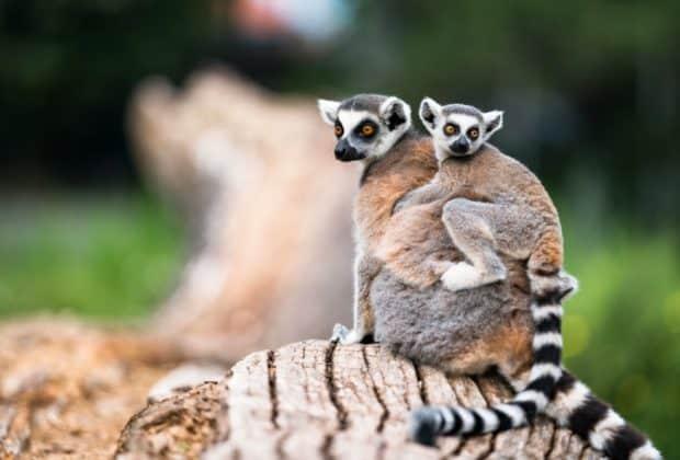 Lemury matka z dzieckiem