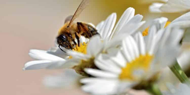 pszczoła kwiatek