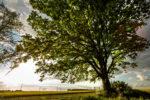 drzewo roku głosowanie