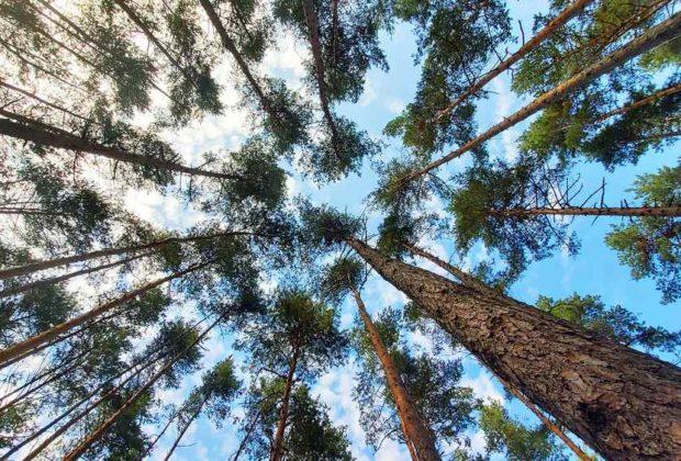 drzewa korony