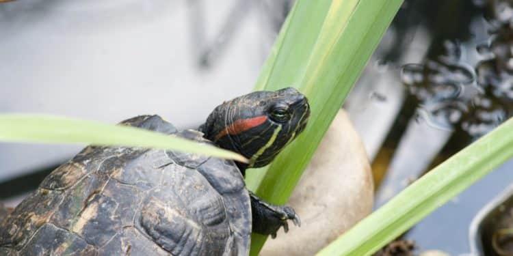 żółw wrocław