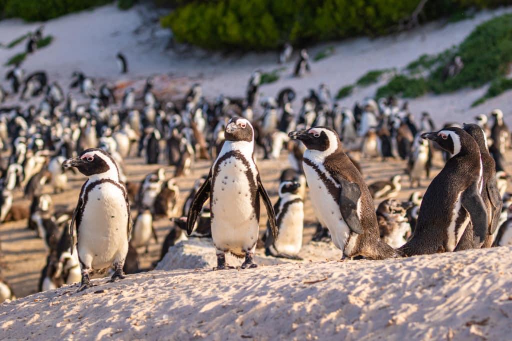 Ekologia? Alexander von Humboldt jest jej ojcem. Na zdjęciu widać pingwiny Humboldta. Fot. Jearu / Shutterstock.com.