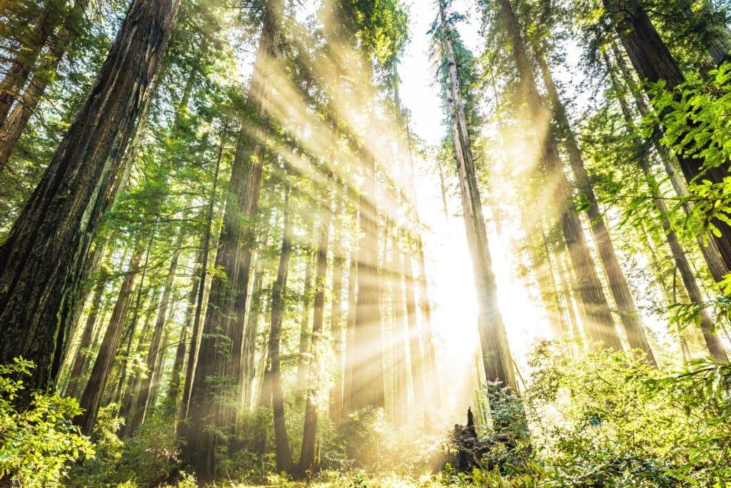 Las w hrabstwie Humboldt w północnej Kalifornii. Fot. Trevor McBroom/Shutterstock.com