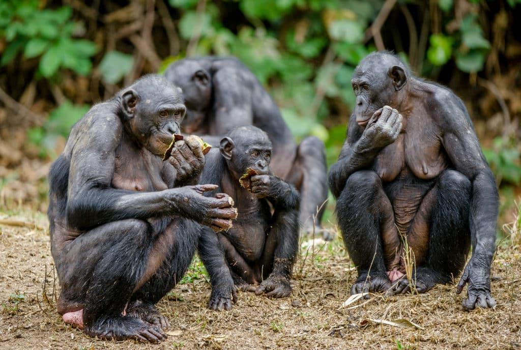 Bonobo. Park Salonga.