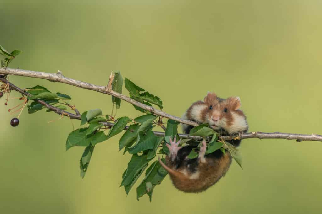 """Chomik europejski, gryzoń spotykany od Holandii po Kazachstan, został uznany za gatunek krytycznie zagrożony wyginięciem - wynika z najnowszej aktualizacji """"czerwonej księgi"""" IUCN. Niewielki ssak, spotykany także w Polsce, może całkowicie wyginąć w ciągu 30 lat. Zdjęcie: Shutterstock / Vienna Wildlife."""