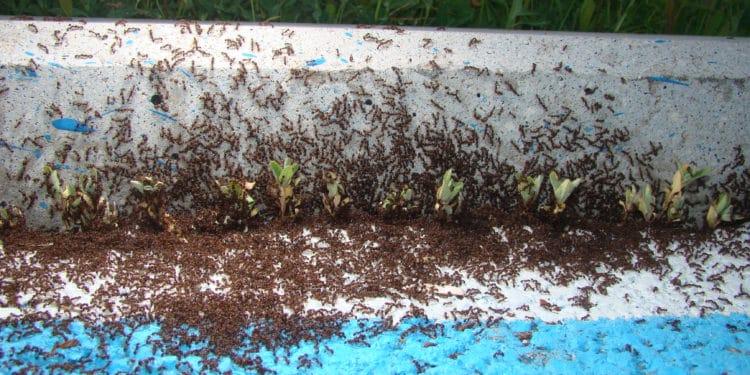 mrówki chodnik